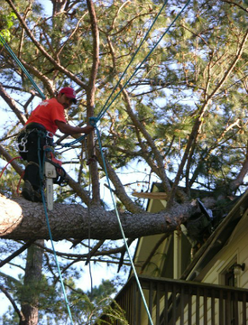 Dangerous tree removal in Langley